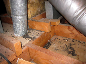 rat droppings in an attic