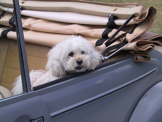 a dog in a car with a soft top roof