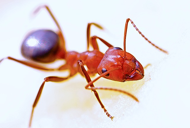 a lone red ant