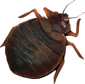 How To Get Rid Of Bed Bugs Hsd Online