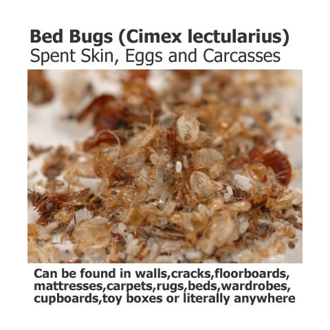 Dust Covered Bug of 2   Bed Bugs Dust Mite