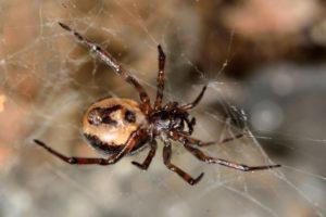 false widow spider